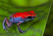 stock photo of poison dart frogs  - frog red and blue amphibian poisonous animal of tropical rain forest Panama Isla Escudo strawberry poison dart frog Oophaga pumilio - JPG