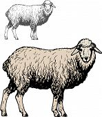 Domestic sheep poster