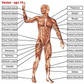 Vector eps concept or conceptual 3D human anatomy and muscle isolated on white background as a metap