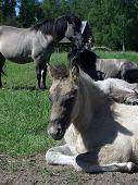 Tarpan Like Polish Horse. poster