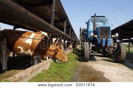 The Tractor Is Dispersed Grass Cows