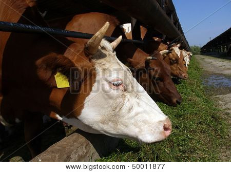 Cows Stands In A Stall And Eats A Grass