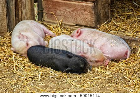 Pot bellied piglets sleeping in the straw.