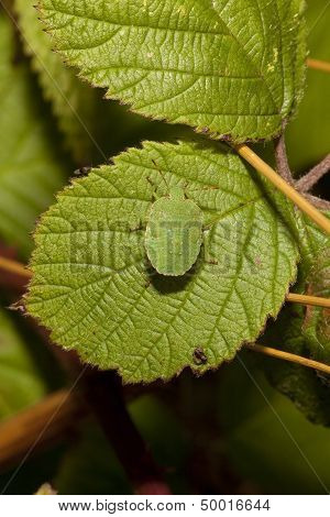 Green Tortoise Beetle On Brambles