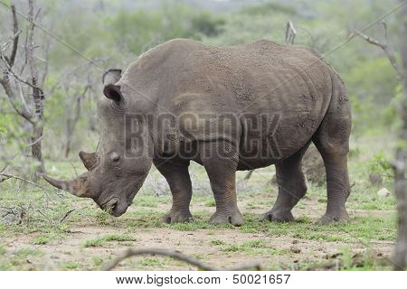 Rhinoceros stands in African plains