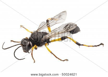Wasp Mud Dauber Species Sceliphron Destillatorium