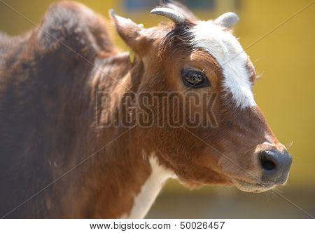 Portrait of zebu in the zoo