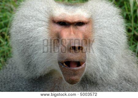 Face Of Monkey