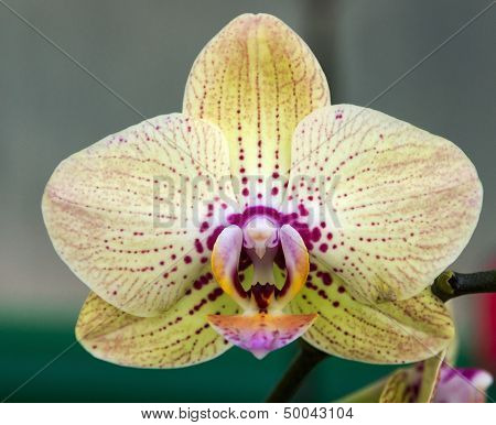 Yellow Orchid Blossom Flower