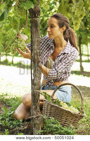 Harvesting The Grape