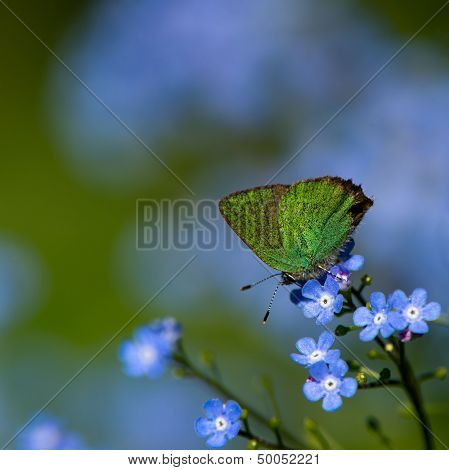Green Hairstreak (Callophrys Rubi), Sweden