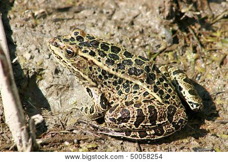 Frog in Mud