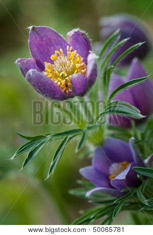 Pasque Flower (Pulsatilla patens) Glows