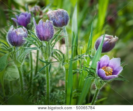 Pasque Flower (Pulsatilla patens) Group