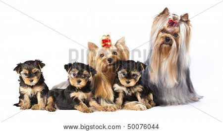 puppies of the Yorkshire Terrier , family Dog