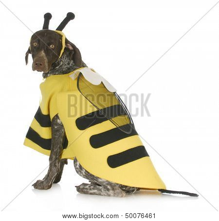 dog wearing bee costume - german short haired pointer in bumble bee costume