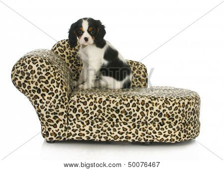 dog sitting on a dog bed - cavalier king charles spaniel sitting on a dog bed isolated on white background