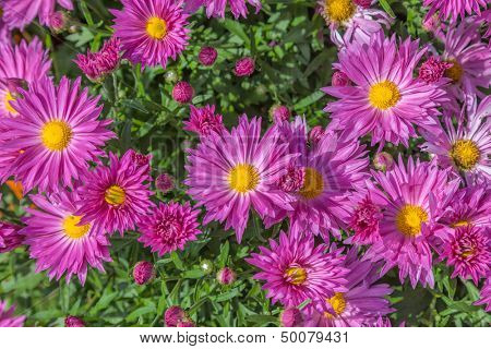 Closeup fall perennial garden asters or chrysanthemum.