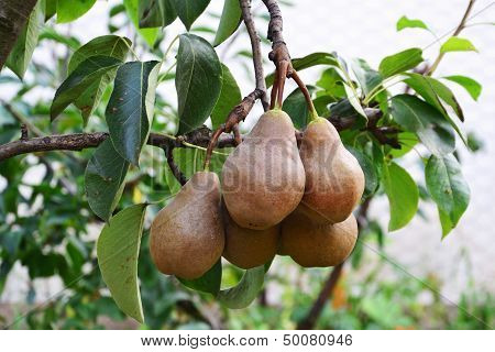 Bosc Pears In The Tree