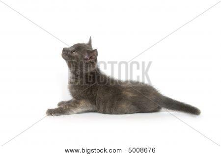 Gray Kitten Looking Up
