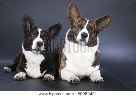 Two Corgi Cardigan