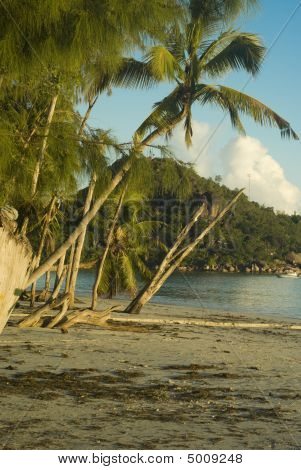 Palms And Old Trees On Cote D'or Beach Praslin Seychelles In The Morning