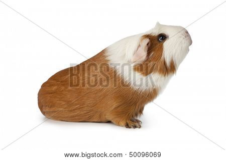 Guinea pig looking up on white background