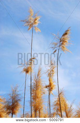 Common Reed (phragmites) Plant