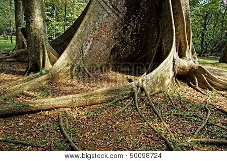 Gigantic Tree Roots Background