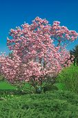 picture of japanese magnolia  - blooming magnolia tree isolated on blue sky background - JPG