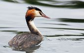 picture of great crested grebe  - Great Crested Grebe in Hogganfield Loch - JPG