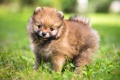 picture of miniature pomeranian spitz puppy  - Small Pomeranian puppy standing in the grass - JPG