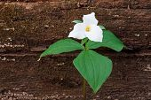 image of trillium  - A fallen tree in the woodland provides shelter for a perennial wildflower - JPG