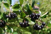 picture of chokeberry  - A branch of the ripe berries of a chokeberry - JPG