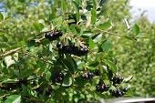 image of chokeberry  - A branch of the ripe berries of a chokeberry - JPG