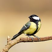 picture of great tit  - Great tit perched on a tree branch - JPG