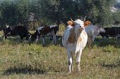 picture of moo-cow  - White cow mooing in the pasture - JPG
