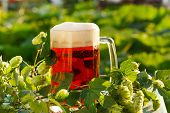 picture of hop-plant  - hops with beer - JPG