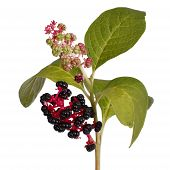 stock photo of inkberry  - pokeweed with ripe berries and leaves isolated - JPG