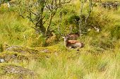 stock photo of cervus elaphus  - Majestic European Red deer  - JPG
