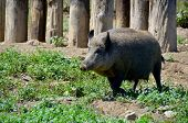 stock photo of boar  - Wild boar or wild pig  - JPG