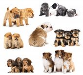 stock photo of long tongue  - Group of Puppies  different breeds - JPG