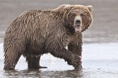 pic of grizzly bear  - A coastal brown bear in Lake Clarke National Park Alaska - JPG