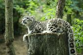 stock photo of snow-leopard  - Details of a snow leopard uncia uncia in captivity - JPG