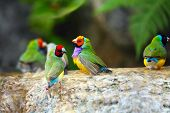 stock photo of bird paradise  - Gouldian Finch Colorful Birds Taking a Bath - JPG