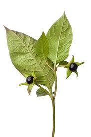 foto of belladonna  - Poisonous Belladonna berries on white background - JPG