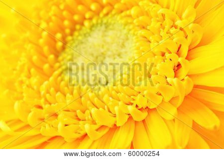Yellow daisy close up