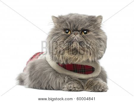 Persian cat wearing a tartan harness, lying, looking away, isolated on white
