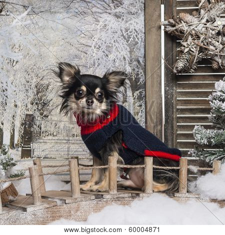 Dressed up Chihuahua sitting on a bridge in a winter scenery