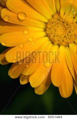 Closeup Of Yellow Gerbera Jamesonii Bolus Flower
